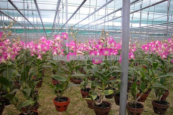 Phun sương Hawin được sử dụng cho vườn lan tại Yên Bái